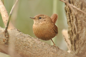 Winter Wren, Theodore Roosevelt Island, Washington, DC