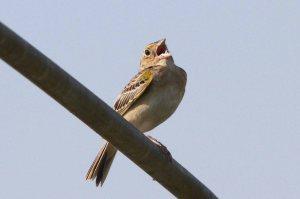 Grasshopper Sparrow, Kenilworth Park