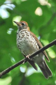 DC's official bird, the Wood Thrush, Glover Park, Washington, DC